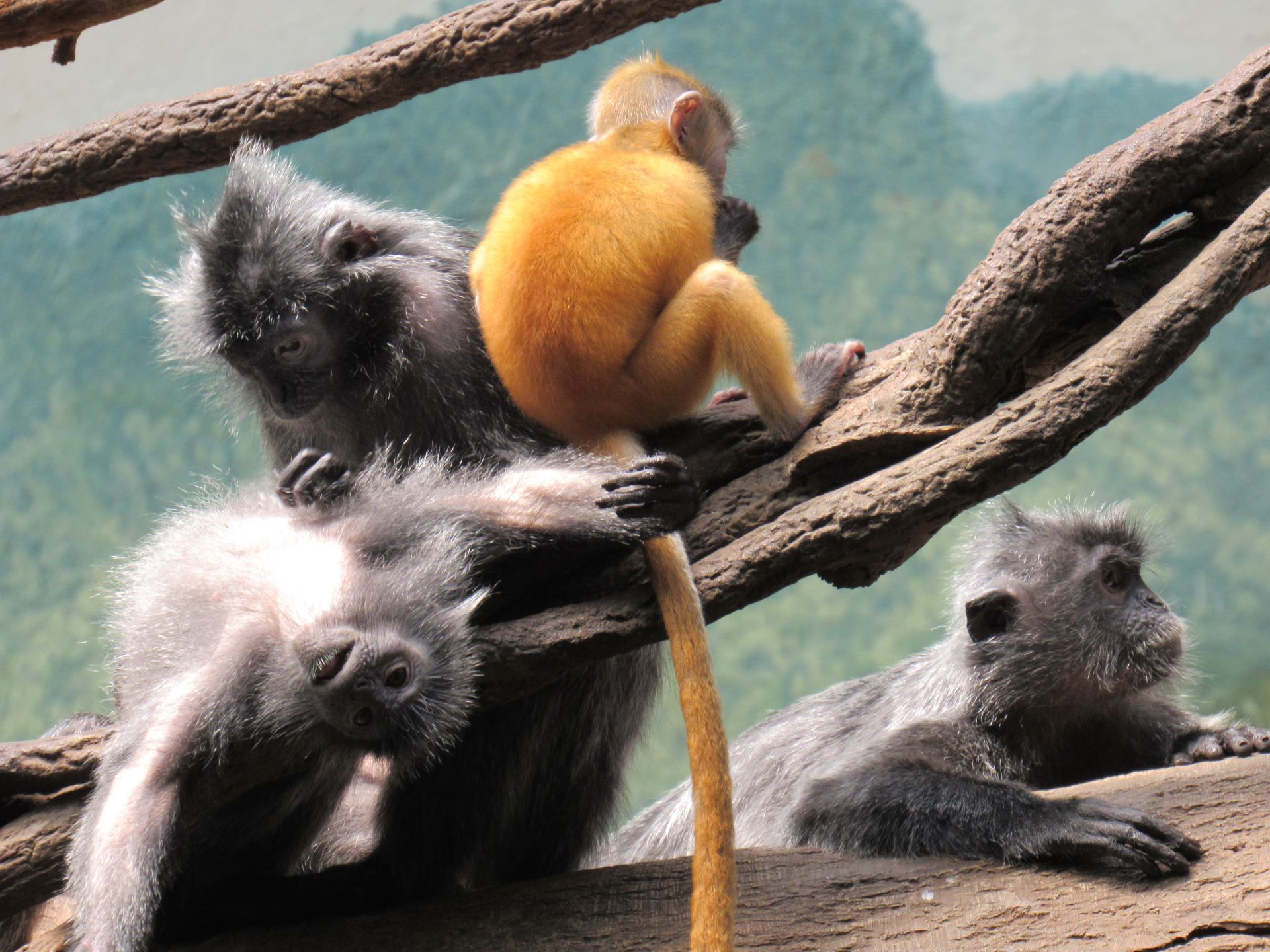 Read more about the article Bronx Zoo: Jungle World Langurs Pt. 1